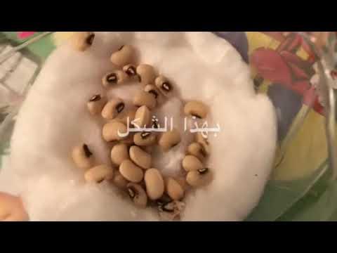 زراعة بذور اللوبيا في القطن Youtube