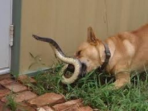 Snake vs Dog - Funny Fight(Warning:Explicit Images)
