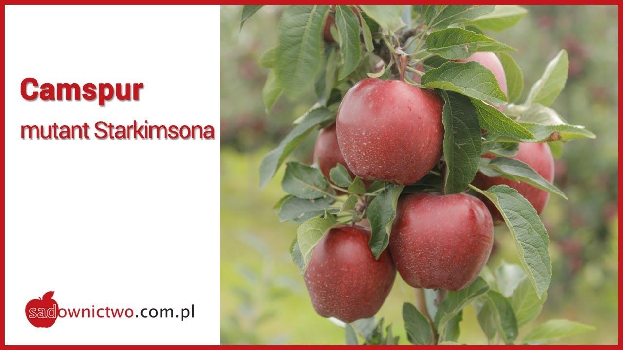sklep w Wielkiej Brytanii tak tanio niska cena Camspur - zbiory jabłek 2018r. [odmiany jabłoni / apple variety]