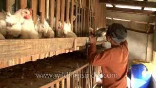 Poultry farm of Pu Ziona Chana