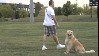 Rosa's K-9 Training (2 Y Ear Old Golden Retriever Advance Obedience) One Week Of Training!