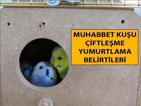 Muhabbet Kuşu Çiftleşme Dönemi Belirtileri