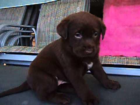 Purebred Chocolate Labrador Puppies