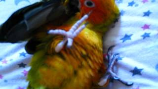 Baby sun conure plays, preens, and cuddles.