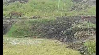 Video Harimau Terlihat Lagi Usai Terkam 2 Warga download MP3, 3GP, MP4, WEBM, AVI, FLV September 2018