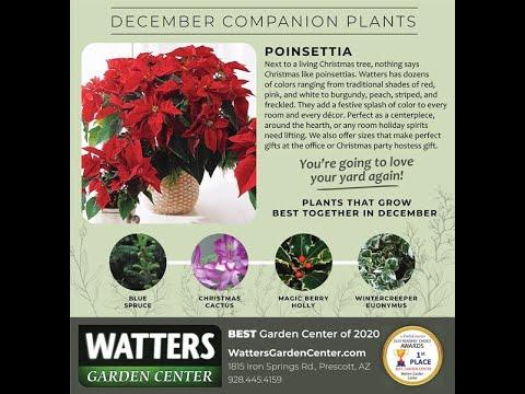 December Companion Plants Poinsettia Youtube