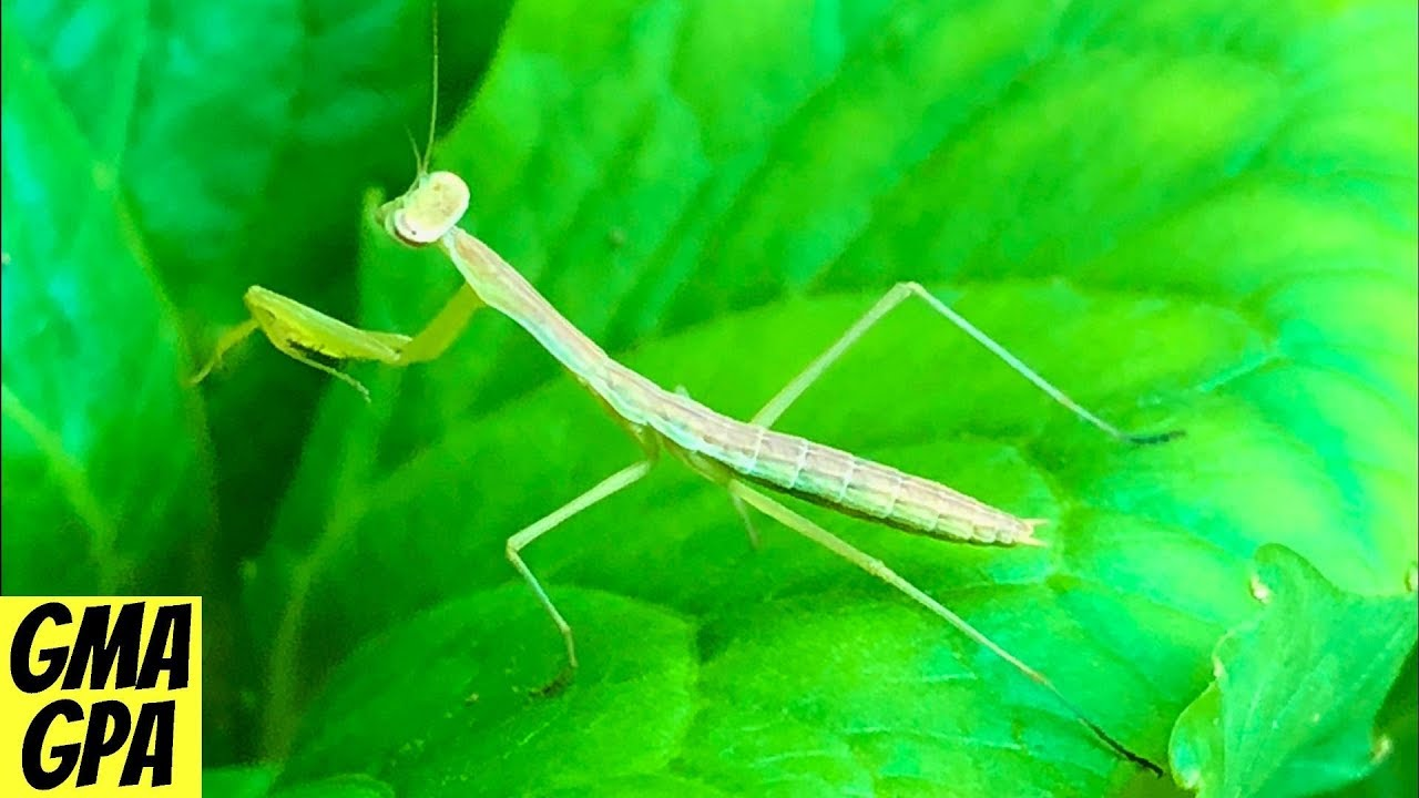 We Raised Praying Mantises At Home A Fun Educational Project