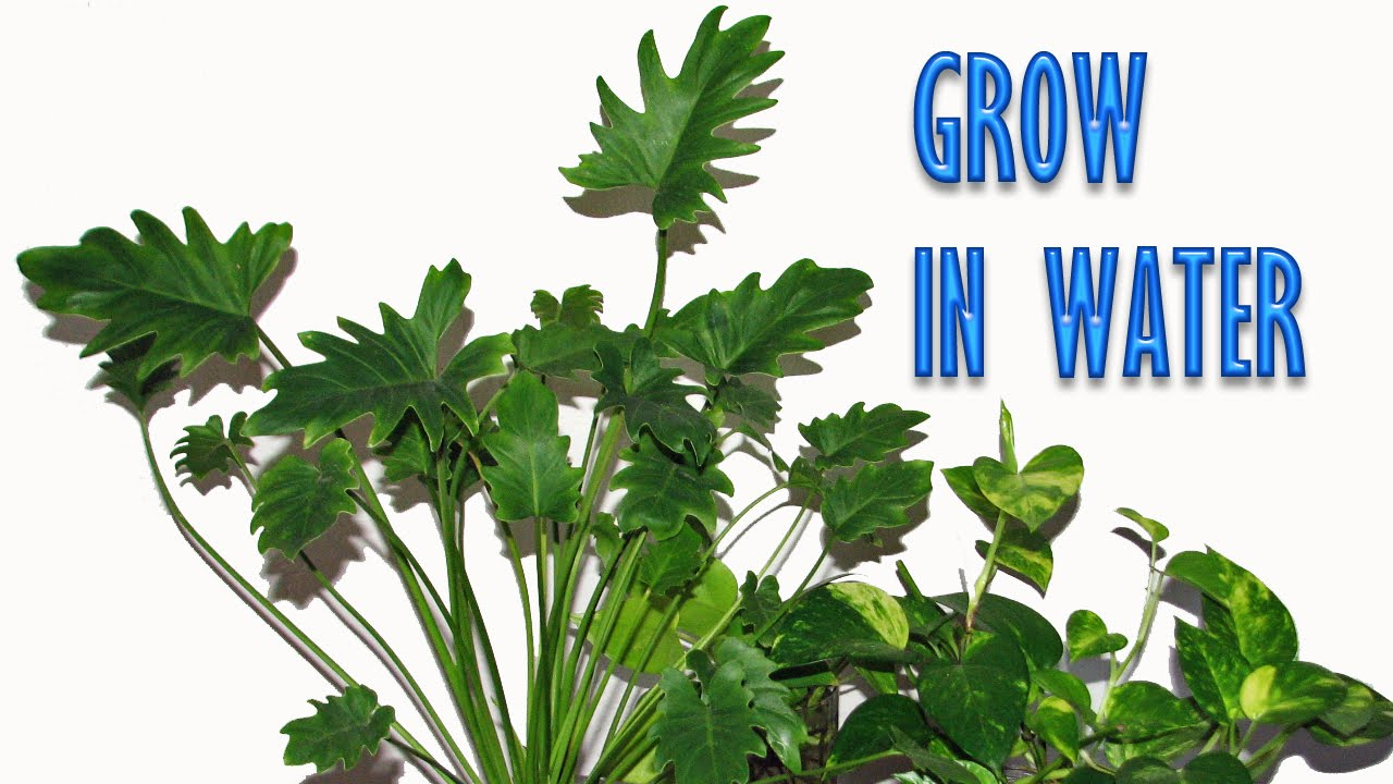 Grow indoor plants in water for years youtube - Indoor water plants list ...