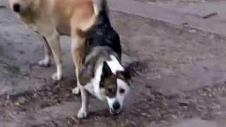 почему собаки прилипают друг к другу году