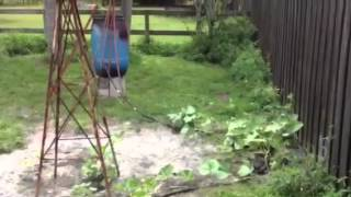 My pumpkin vine/rain barrel project