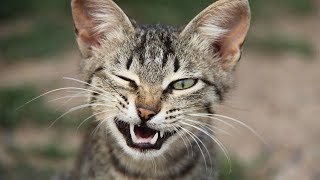 Что будет если укусит кошка