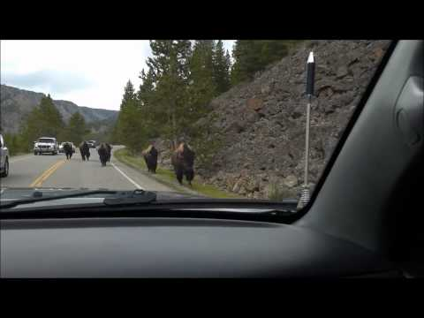 Yellowstone bison herd charges towards vehicle