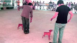 Dog Show At S.m. 5/5/13 ~ Mini Pinscher Category
