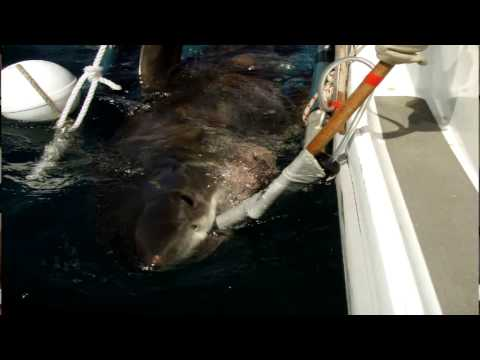 Tag For Life Catchting and Tagging White Sharks in Australia with Stomach Acoustic Tags