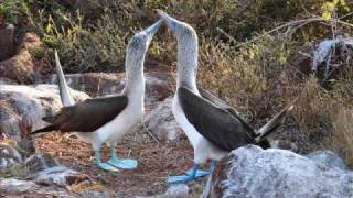 Blue Footed Booby Courting Dance Galapagos