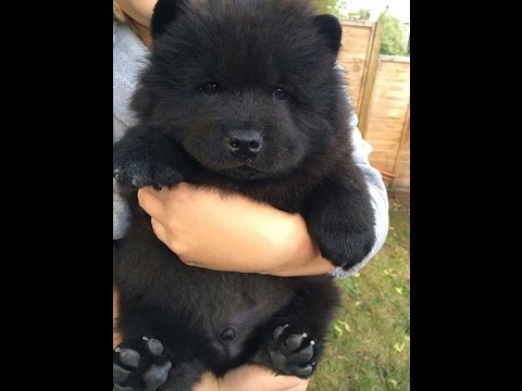 Greatest 23 Chubby Puppies Mistaken For Teddy Bears Of All Time
