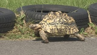World's fastest Tortoise (Guinness World Record)