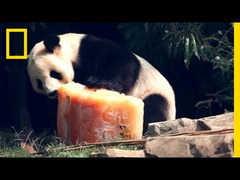 Birthday Cake for Panda | National Geographic