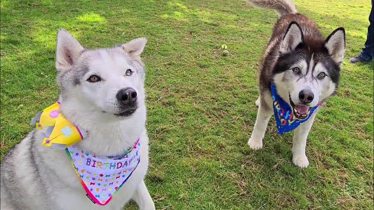 Cute Husky's get to see each other again for a birthday surprise