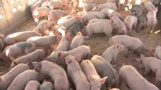 Producing High-Quality Pig Feed