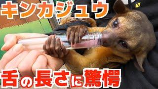 【驚愕】キンカジュウーにハチミツあげたら舌の長さが凄すぎた Potos flavus licks honey