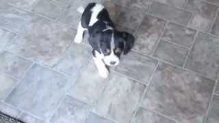 Beaglier Puppies For Sale