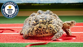 World Fastest Turtle - NOT in Guinness World Records 2020