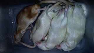 Video 4 SLEEPING RATS (VS) 4 HUNGRY SNAKES! download MP3, 3GP, MP4, WEBM, AVI, FLV September 2017