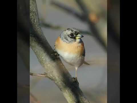 Brambling Song / Call / Voice / Sound