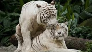 indian wild white tigers....anyone try to find out location??