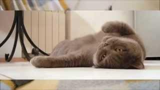 Стоит ли заводить британского кота ?Плюсы и минусы.