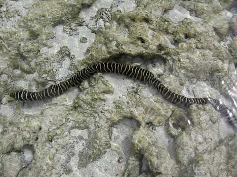 Sea Snake at Matemwe Beach, Zanzibar