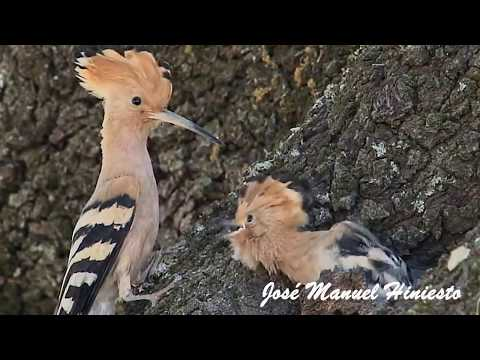 The Mother Bird feeding babies | Hoopoe bird  Abubilla | Upupa epops