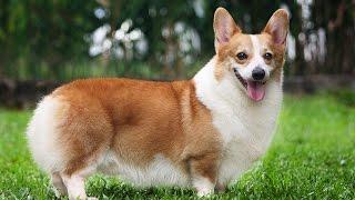 "Хочу собаку. Вельш-корги | Телеканал ""Мама"""