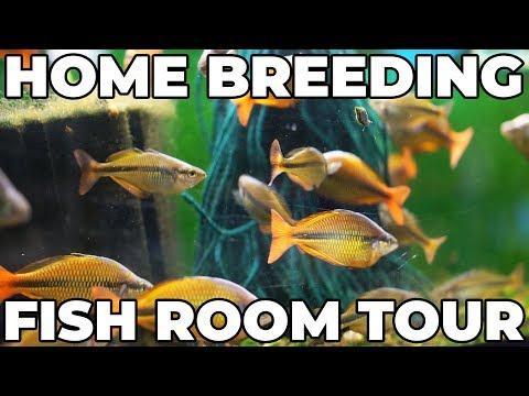 Home Fish Room Tour! Gary Lange Rainbowfish, Angelfish, And Betta Breeding