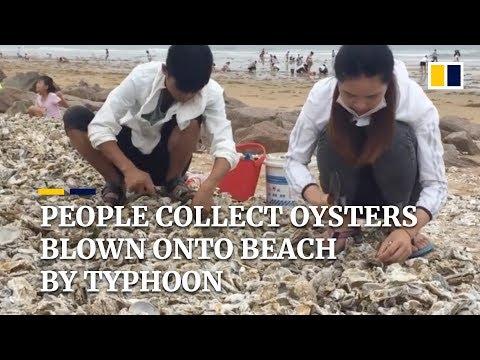 (Video)Ada Sinar Selepas Bencana, Penduduk Berkumpul Kutip Ribuan Tiram Terdampar Tepi Pantai
