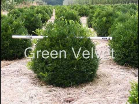Boxwood Hedges With Green Mountain And Green Velvet Boxwood