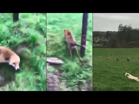 Sickening Video Shows Irish Fox Running For His Life