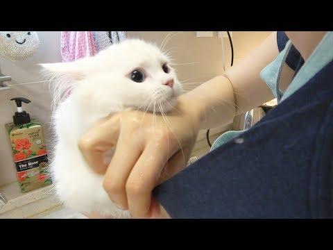 엉덩이 목욕 중 방구 뀐 고양이 [크림목욕탕]