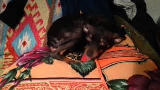 Собака вызывает сатану