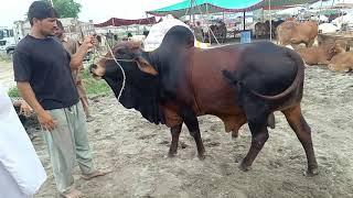 Download Cattle Of Pakistan Channel Videos