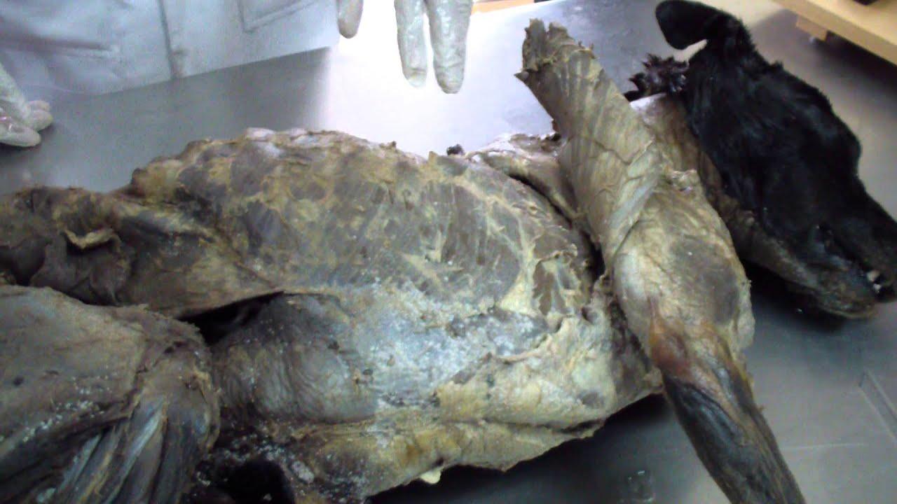 anatomia miologia canina 1 - YouTube