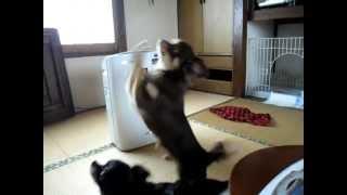 ごはんのおねだりをしてます! Chihuahua has been begging for food!