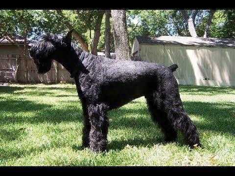 Giant Schnauzer / Dog Breed