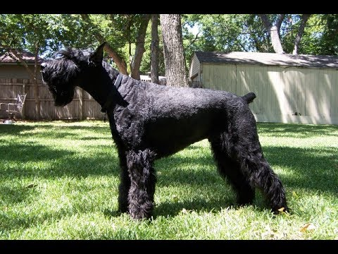 Giant Schnauzer / Dog Breed