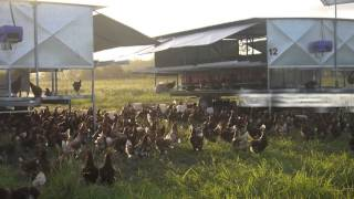 Silverdale Eggs, Queenslands Only Free Range Egg farm