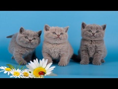 Продажа британских котят. Питомник