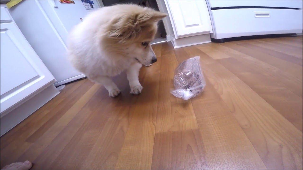 Corgi Pomeranian Mix Versus A Bag Full Of Crickets Youtube