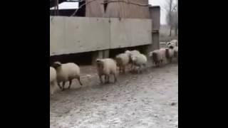 Смешной прикол про баранов смотреть всем