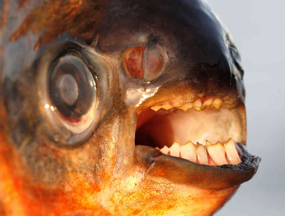 Giant red belly pacu feeding dangerous youtube for Pacu fish teeth